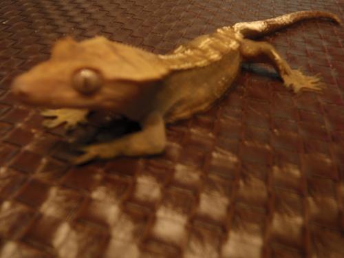 moi j`ai des gecko a crete Snyper14