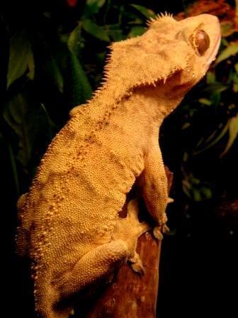 couleur , sorte de gecko a crete  Tigrer12