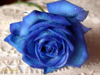 Arti warna pada Bunga Mawar. Biru11