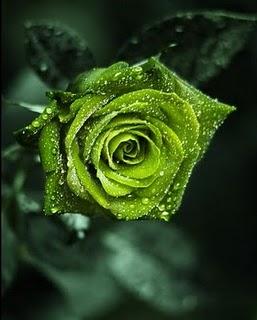 Arti warna pada Bunga Mawar. Hijau11