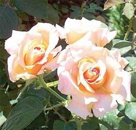 Arti warna pada Bunga Mawar. Krem-o11
