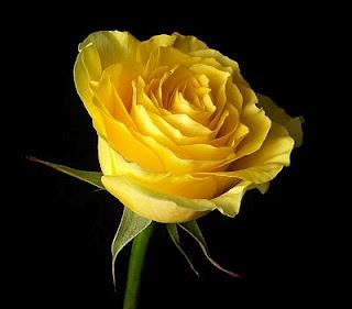 Arti warna pada Bunga Mawar. Kuning10