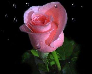 Arti warna pada Bunga Mawar. Pink11