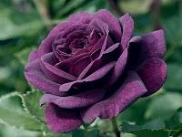 Arti warna pada Bunga Mawar. Ungu11