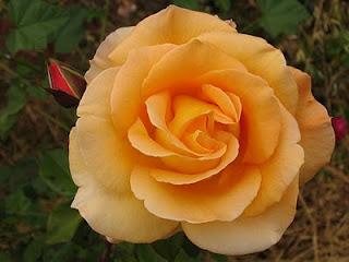 Arti warna pada Bunga Mawar. Y-oran11