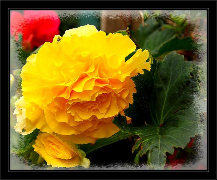 Bégonias  ( et autres fleurs ) Copie_49