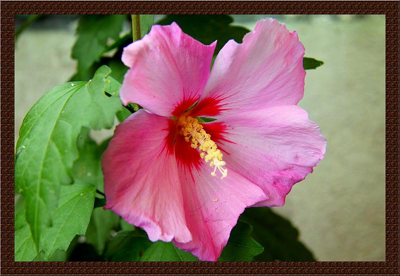 Bégonias  ( et autres fleurs ) Copie_50