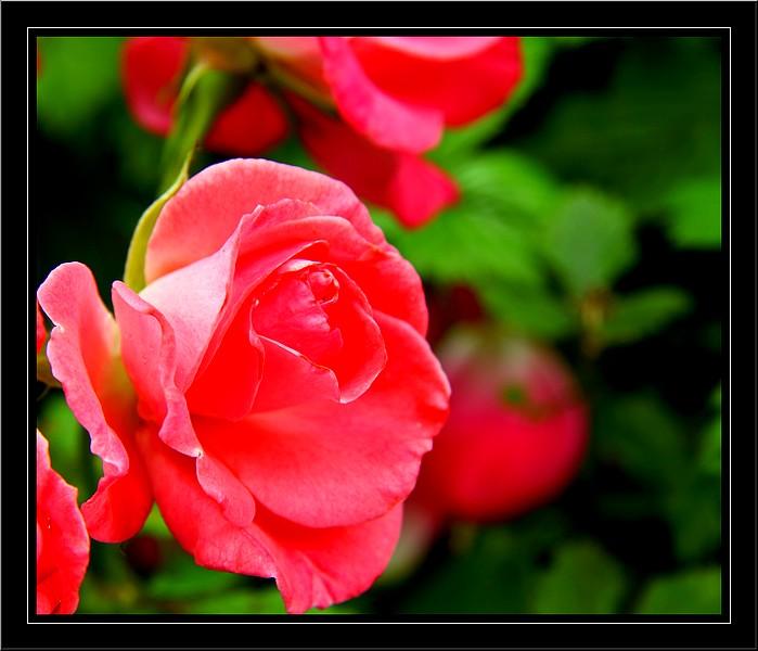 Bégonias  ( et autres fleurs ) Copie_52