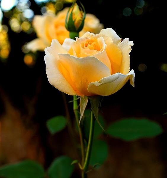 Bégonias  ( et autres fleurs ) Copie_58