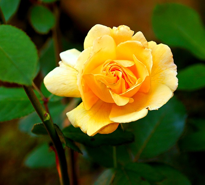 Bégonias  ( et autres fleurs ) Copie_61