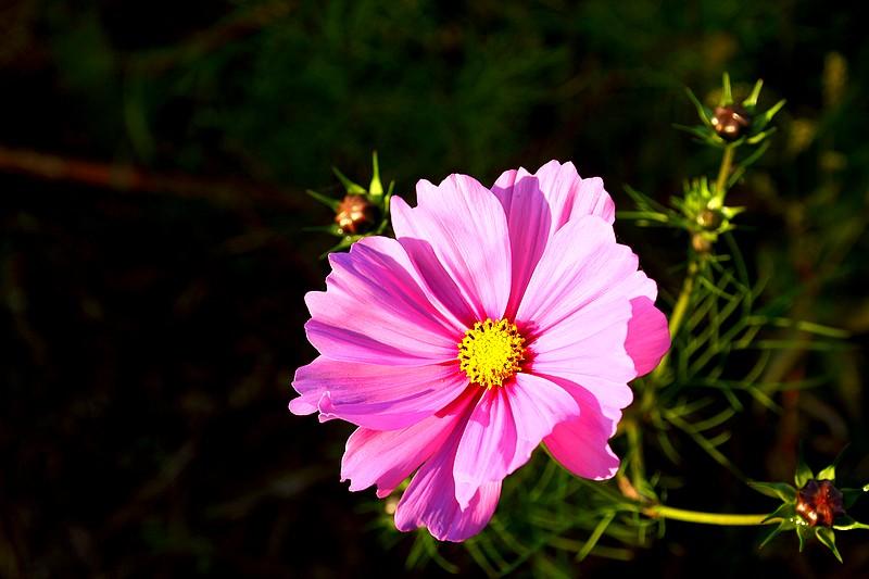 Bégonias  ( et autres fleurs ) Copie_85
