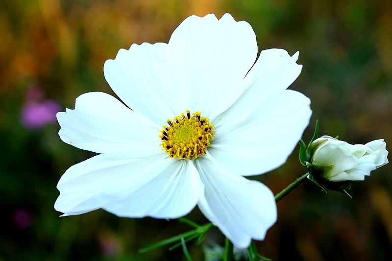 Bégonias  ( et autres fleurs ) Copie_88