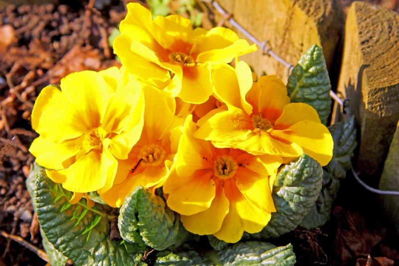 Bégonias  ( et autres fleurs ) Primev10