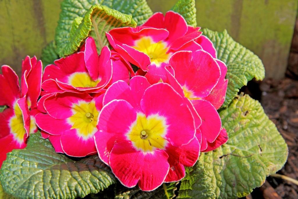 Bégonias  ( et autres fleurs ) Primev11