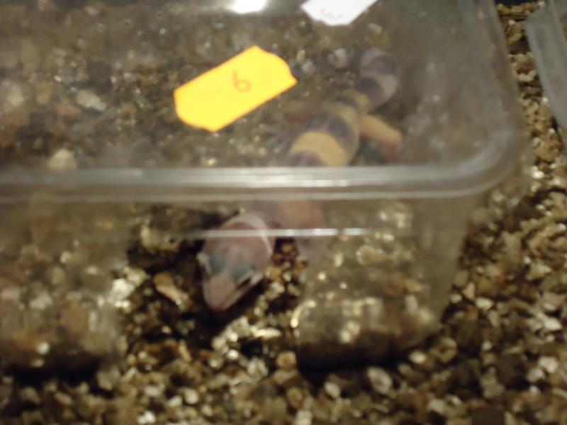 Eublepharis macularis juvenils et sub adulte Dsc01011