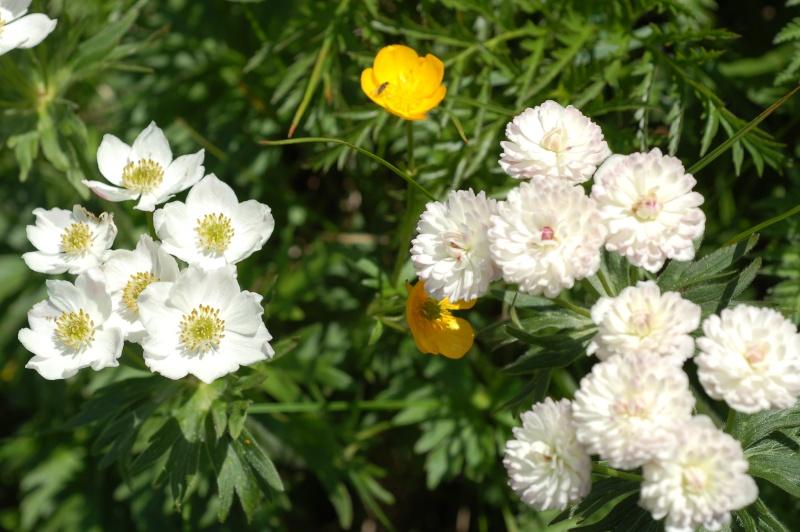 anemone narcissiflora Anemon10