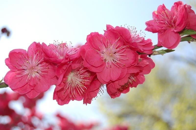Fleur de prunus (macro) Dsc_0116