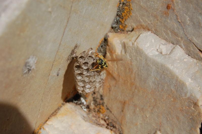 un nid de guèpes Dsc_0710