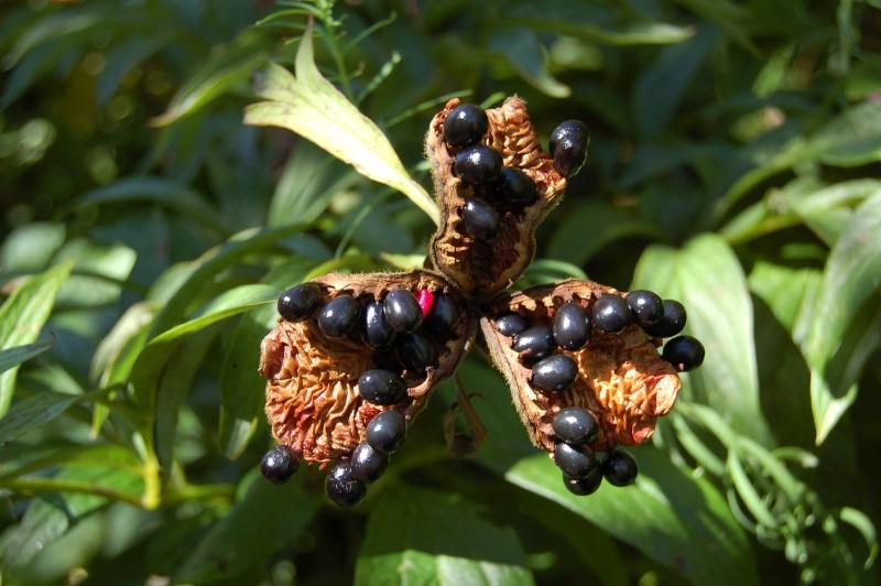 paeonia officinalis Dsc_1012
