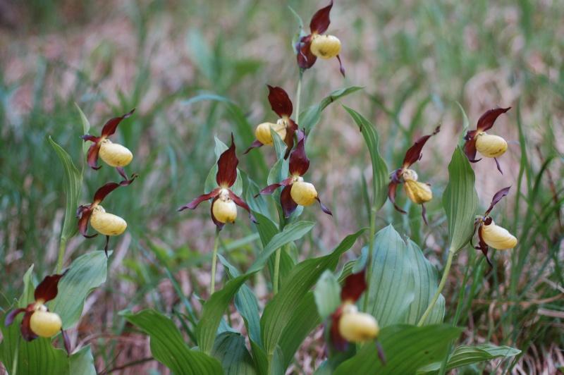quelques plantes sauvages photographiées dans le Haut Doubs et la Suisse voisine Dsc_1210