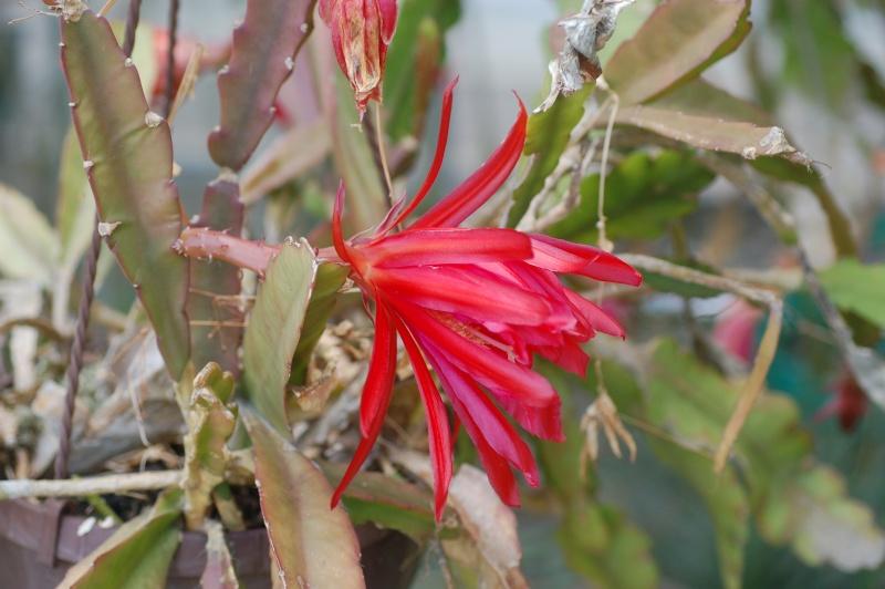 epiphyllum hybride Dsc_1220