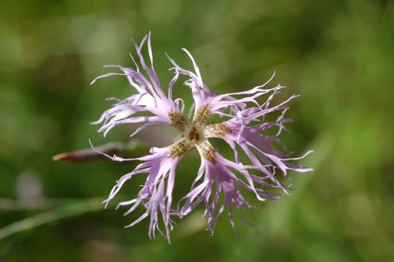 quelques plantes sauvages photographiées dans le Haut Doubs et la Suisse voisine Dsc_1323