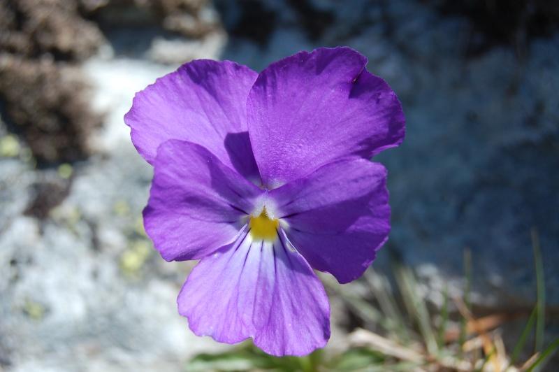 quelques plantes sauvages photographiées dans le Haut Doubs et la Suisse voisine Dsc_1326