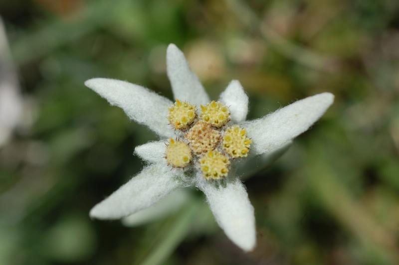 quelques plantes sauvages photographiées dans le Haut Doubs et la Suisse voisine Dsc_1332