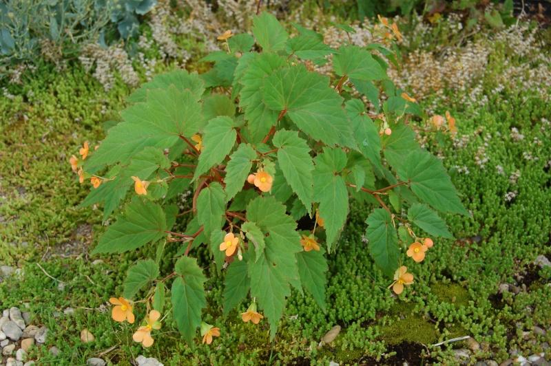 begonia sutherlandii Dsc_1444