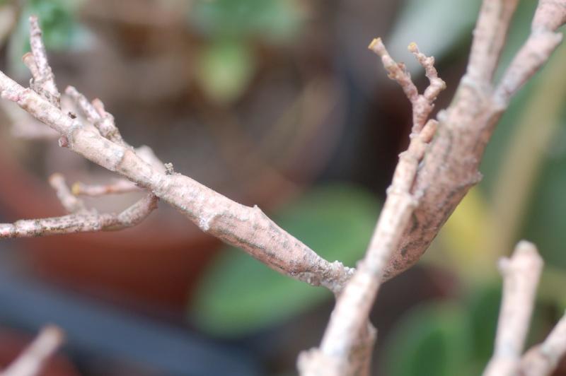 euphorbia platyclada Dsc_1515