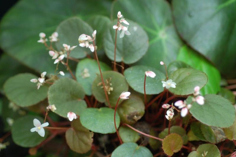begonia subnummularifolia Dsc_1554