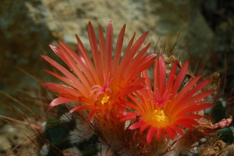 notocactus (parodia) purpureus Dsc_1819