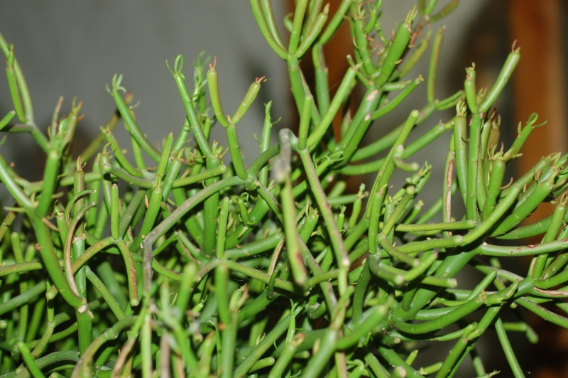 euphorbia tirucalli en fleurs Dsc_1834