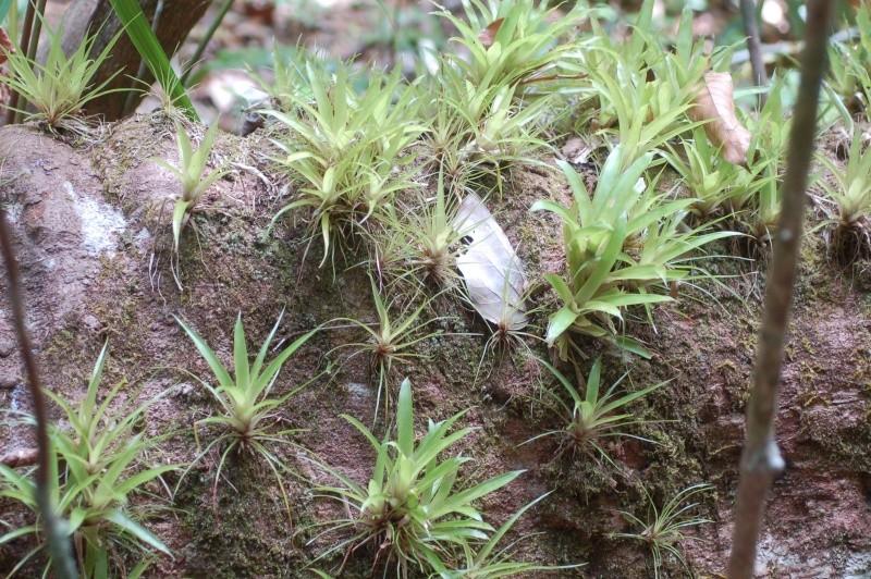 une pouponnière de guzmania lingulata Dsc_1913