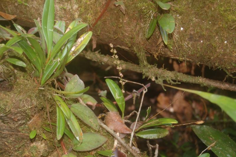 stelis sp en fleur en forêt guyanaise Dsc_2017