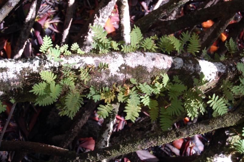polypodium polypodoides Dsc_2515