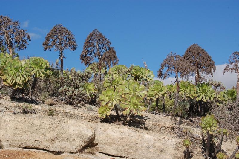 quelques aeonium de Tenerife, identifications à affiner Dsc_3112
