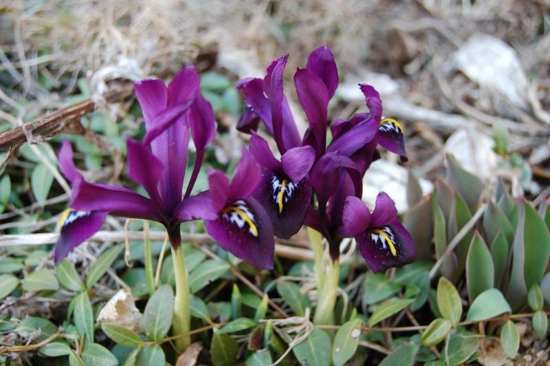 iris reticulata Dsc_3226
