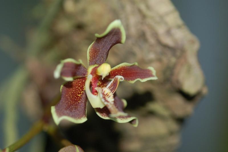 paraphalaenopsis labukensis Dsc_3228