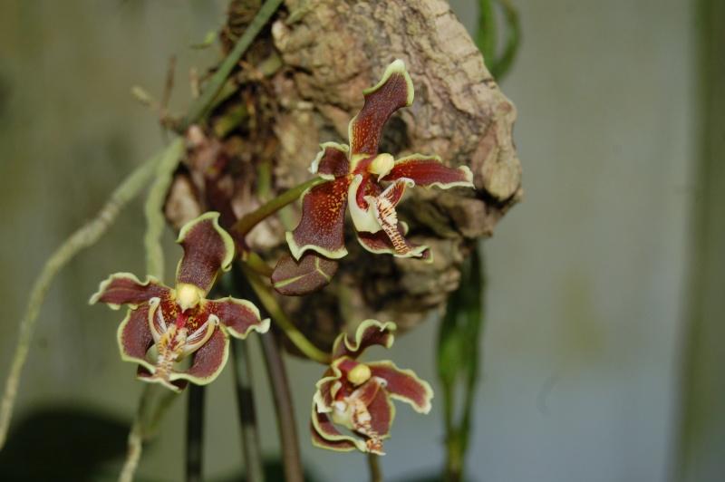 paraphalaenopsis labukensis Dsc_3230