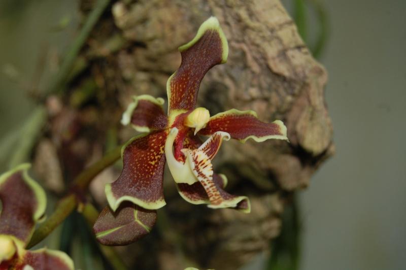 paraphalaenopsis labukensis Dsc_3231