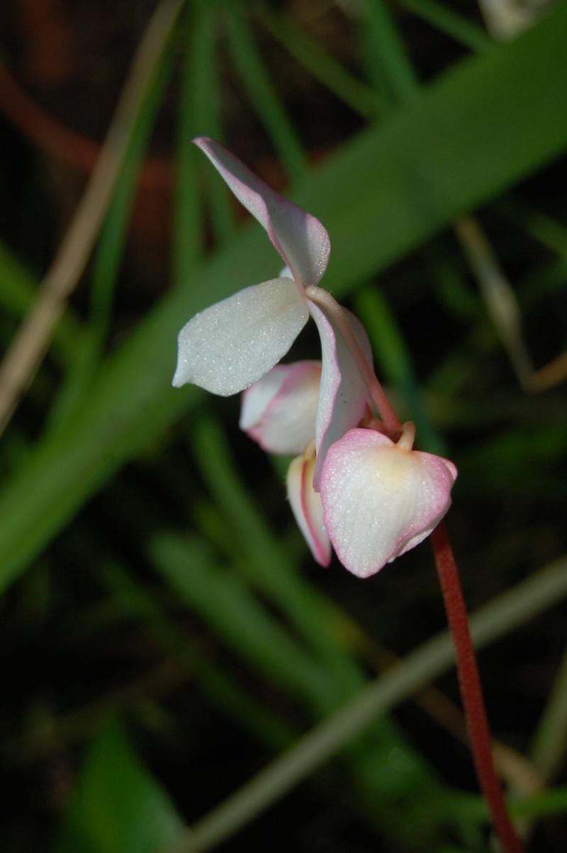 begonia pavonina Dsc_3236
