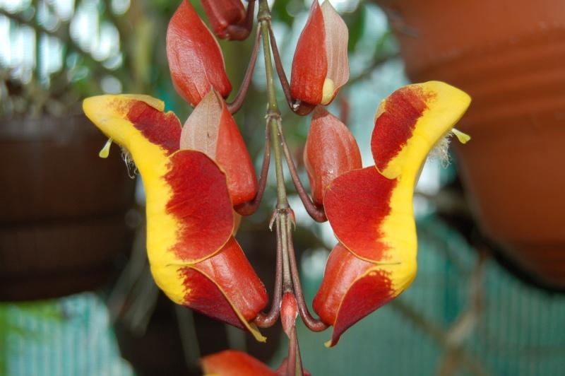 thunbergia mysorensis Dsc_3510