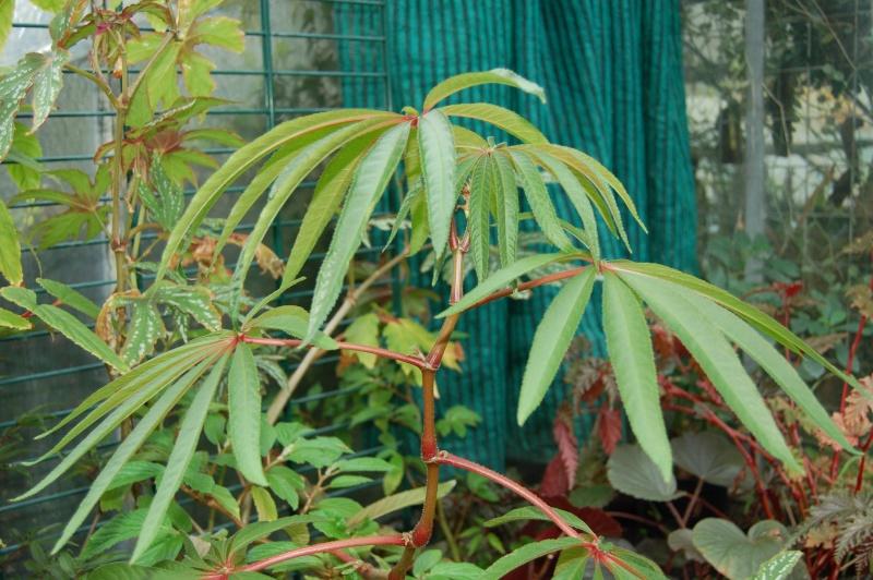 begonia luxurians Dsc_3531