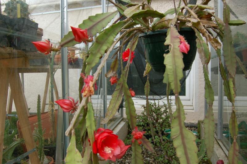 epiphyllum hybride Dsc_3639