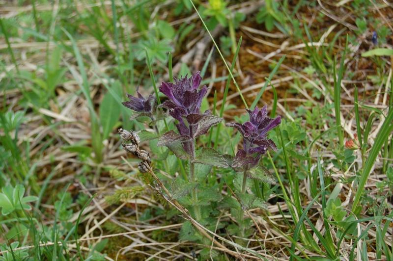 bartsia alpina Dsc_3724