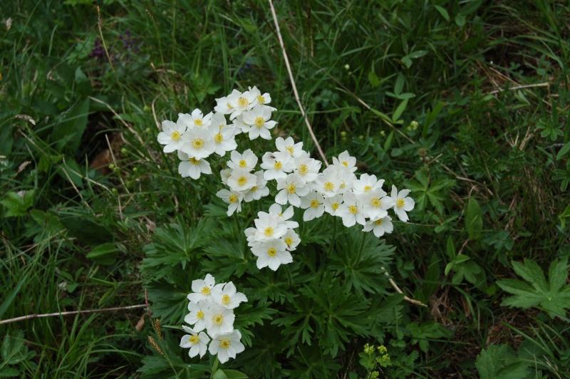 anemone narcissiflora Dsc_3825