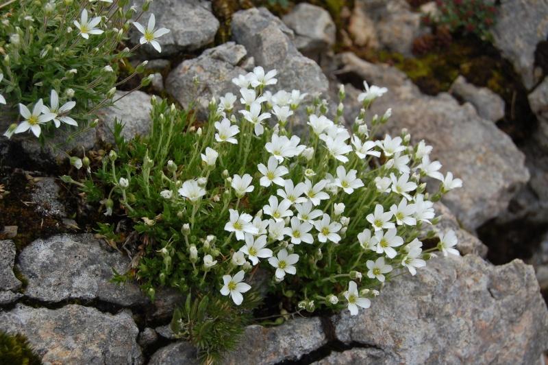 arenaria grandiflora Dsc_3828