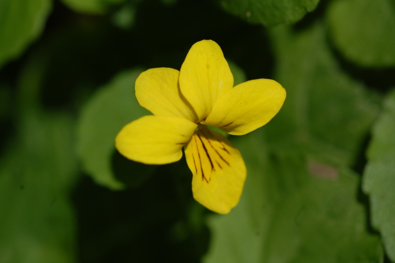 viola biflora Dsc_3913