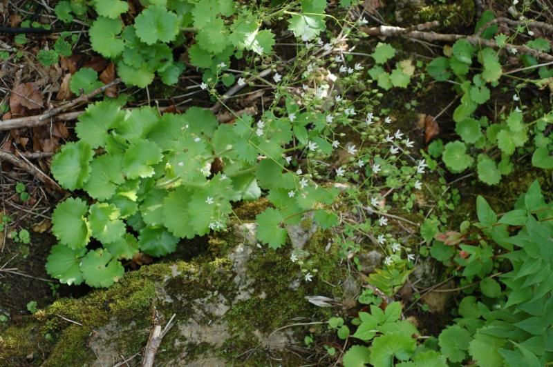 saxifraga rotundifolia Dsc_4026